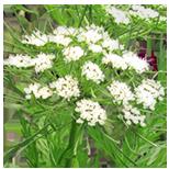 177_JgunKoren Seria Master Herb