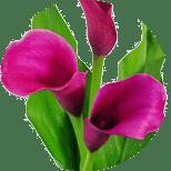 Czermień błotna