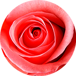 103_Rosa Seria z Mucyną Ślimaka