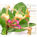 85_JimolostJapan Seria Master Herb
