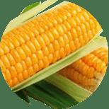 Kukurydza zwyczajna